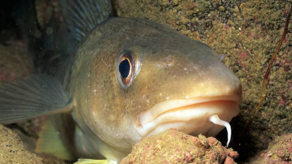 En fisk av arten torsk