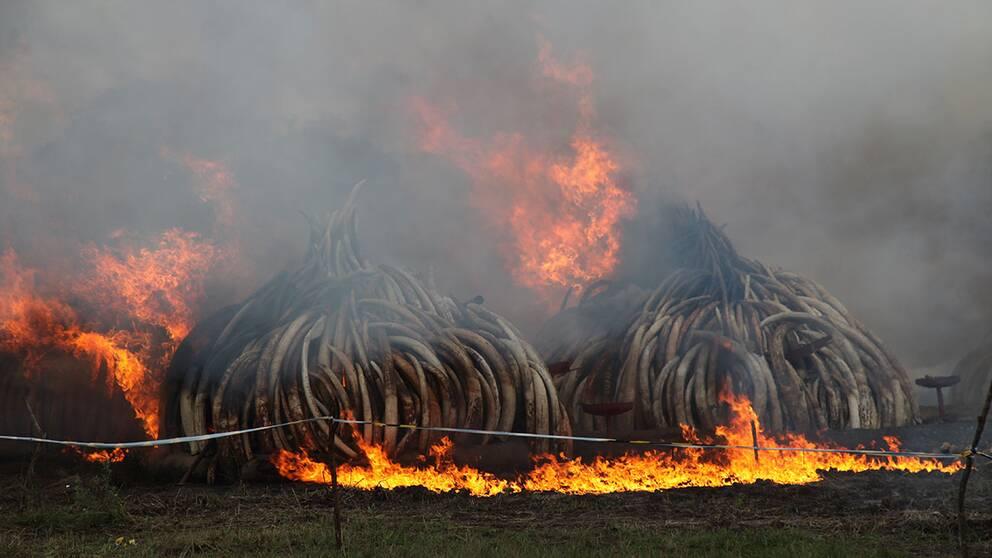 Kenya har samlat ihop över 100 ton elfenben, motsvarande 5 procent av världens lager, och 1,35 ton noshörningshorn. Enligt BBC har hornen och betarna ett värde på gatan av motsvarande 1,44 miljarder svenska kronor.