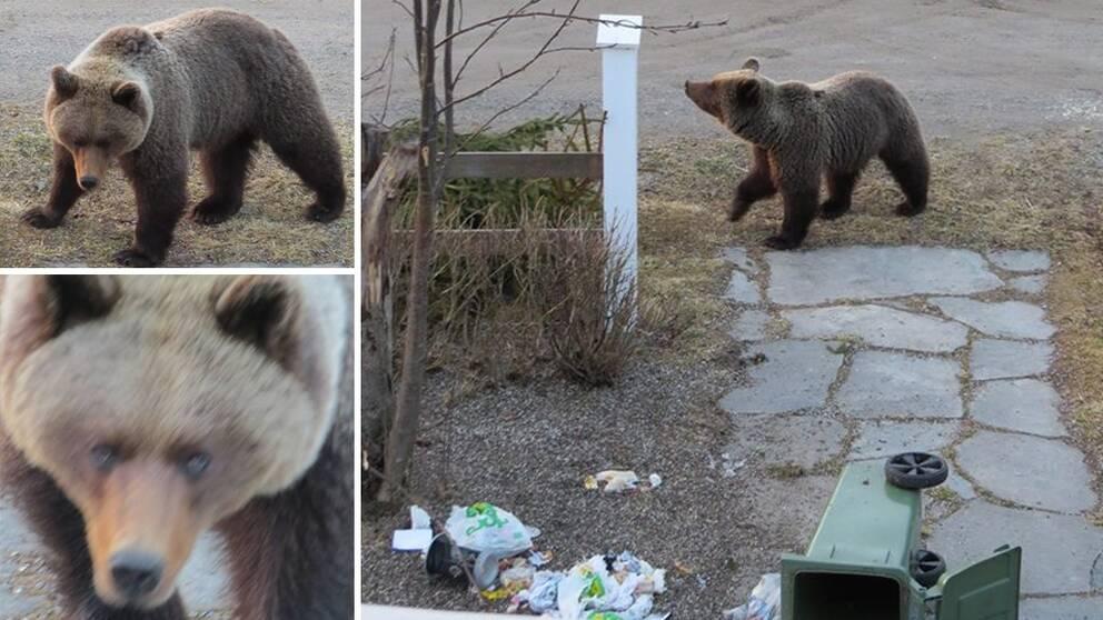 björn på besök i trädgården