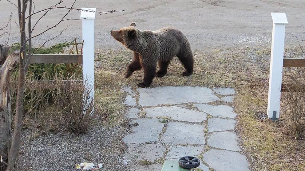 björnbesök på gården.