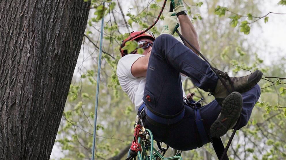 Under helgen går SM i trädklättring av stapeln i Uppsala. Johan Pihl är den regerande mästaren, som även till vardags hänger runt i träd.