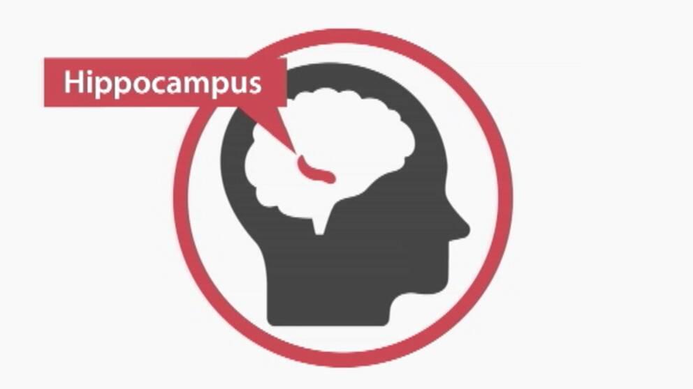 Hippocampus.