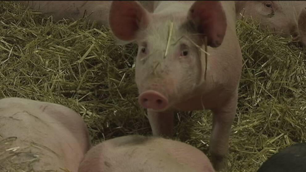 Farre grisar slaktas i sverige