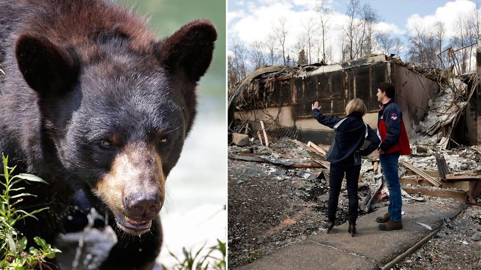 Mängder av svartbjörnar har tagit sig in i den kanadensiska staden Fort McMurray sedan den evakuerades på grund av den stora skogsbranden.