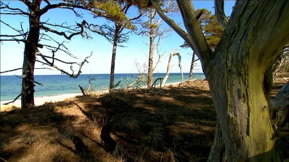 Strandskog på Gotska Sandön.