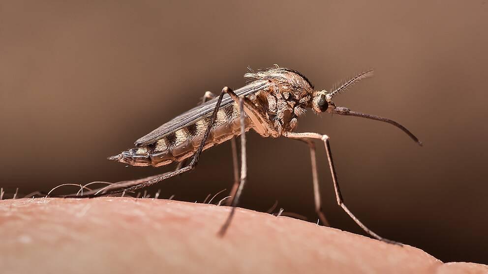 Skogstömygga -Aedes communis