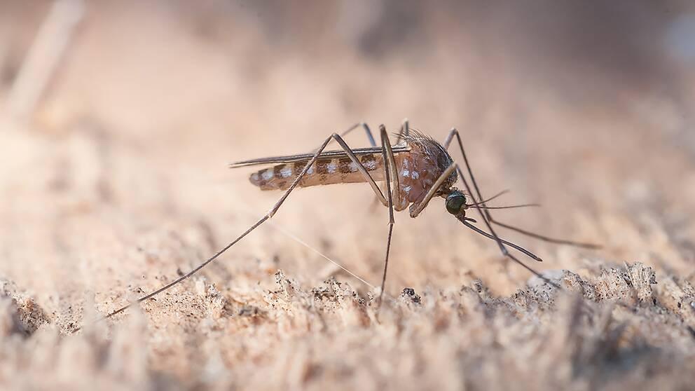 Källarfrossmygga – Anopheles messeae