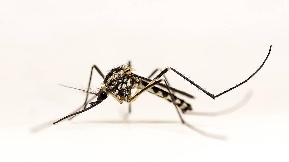 Trädhålsmygga – Aedes geniculatus