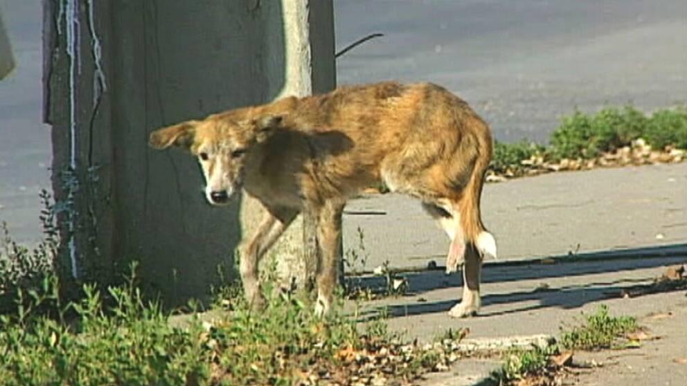 rabieshund
