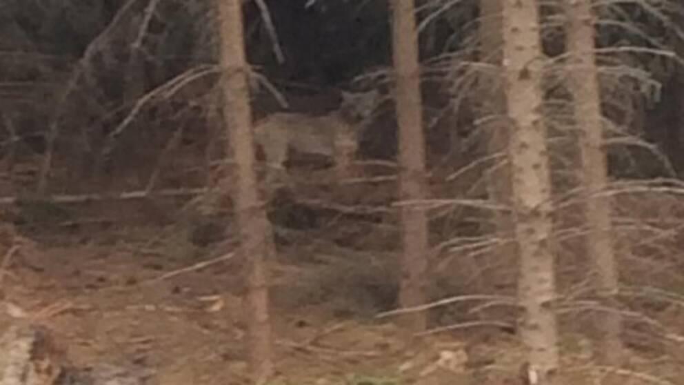 Bilden på den förmodade vargen togs vid Sköldinge by, mellan Katrineholm och Flen, i torsdags morse.