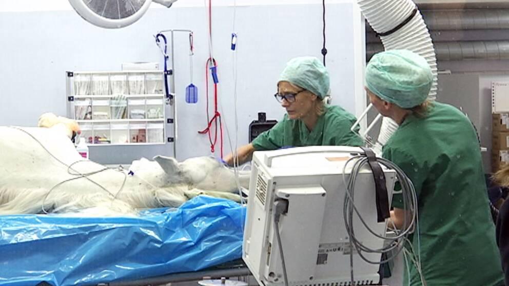 En sövd häst ligger på ett operationsbord på Strömsholms djursjukhus.