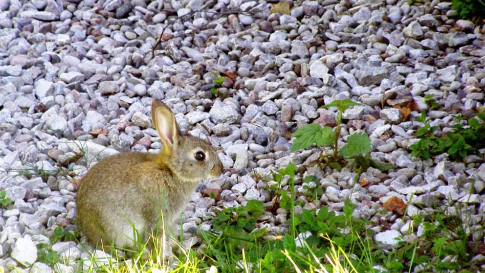 Kanin i det vilda