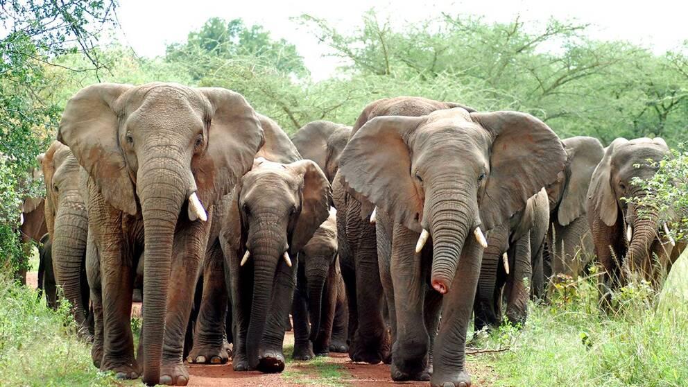Nationalparken Akagera i Rwanda. Elefanthjord på marsch, en har en halv snabel, ett minne av en stålsnara, ett redskap vanligt bland tjuvjägare.