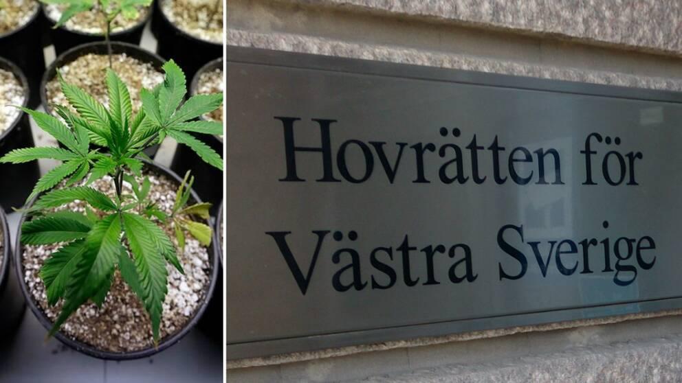 Stort beslag av cannabis i skane