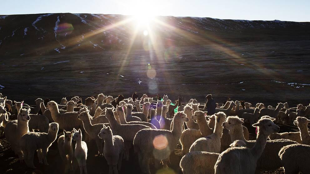 Alpackorna har det svårt i kylan och hungrar ihjäl.