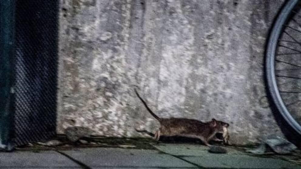 Svårt att säga om råttbestånder ökar.