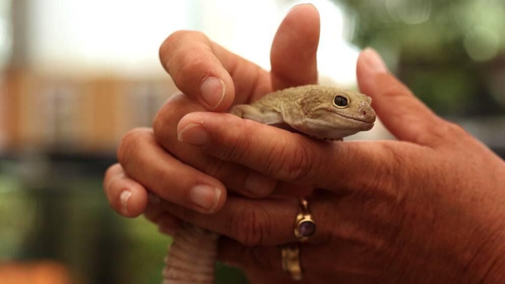 Händer som håller i en geckoödla