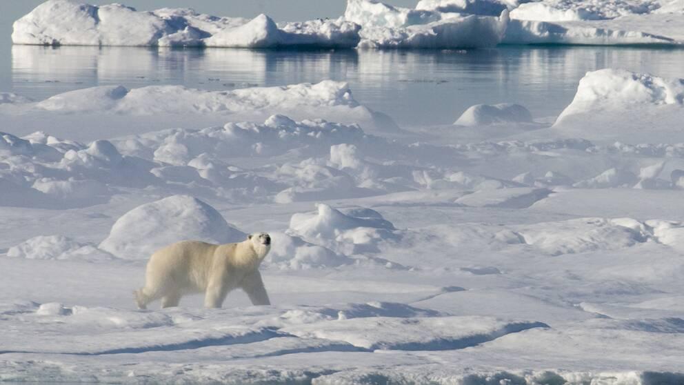 En annan isbjörn – i en för isbjörnar mer naturlig miljö.