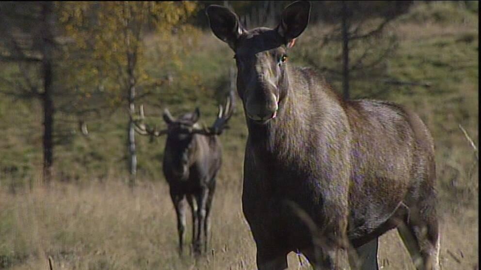 Med knappt fyra veckor kvar till älgjaktspremiären kommer många jägare inte hinna få nya licenser på grund av de långa väntetiderna.