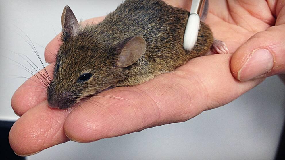 Med en sån här specialdesignad supergosig pensel klappade forskarna mössen för att se vilka nervceller som reagerade på det.