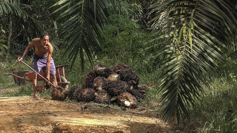 Man arbetar på palmplantage.