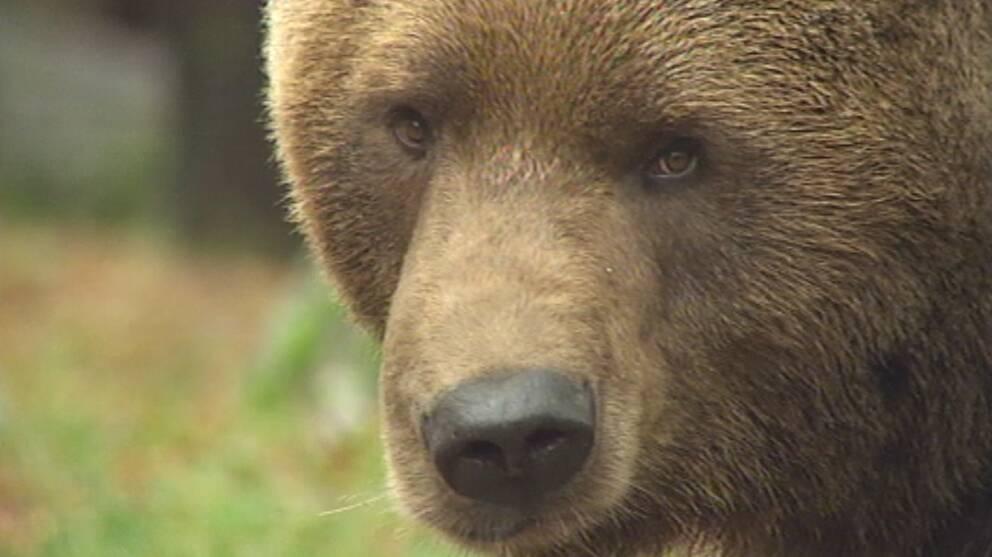 Björn i närbild
